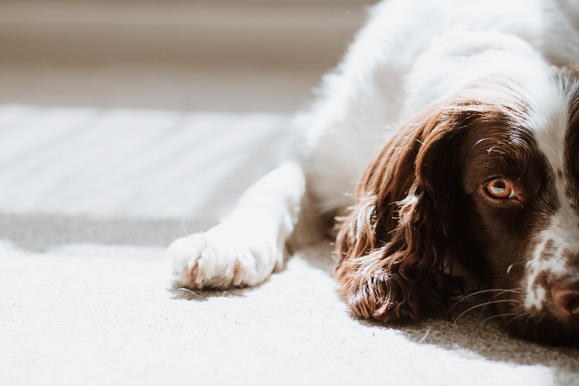 Springer spaniel laying in the sunshine