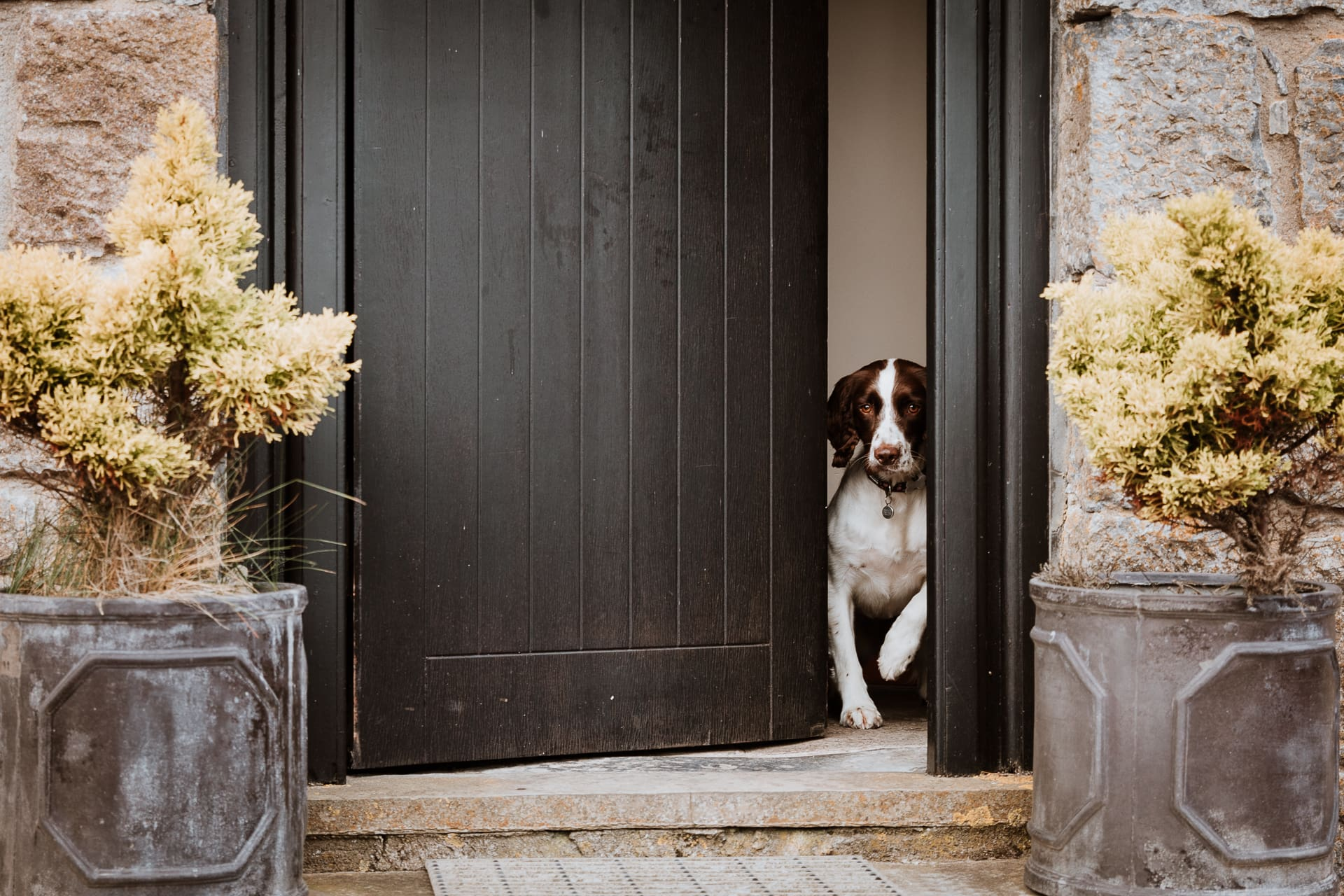 Springer spaniel peeking out of a front door