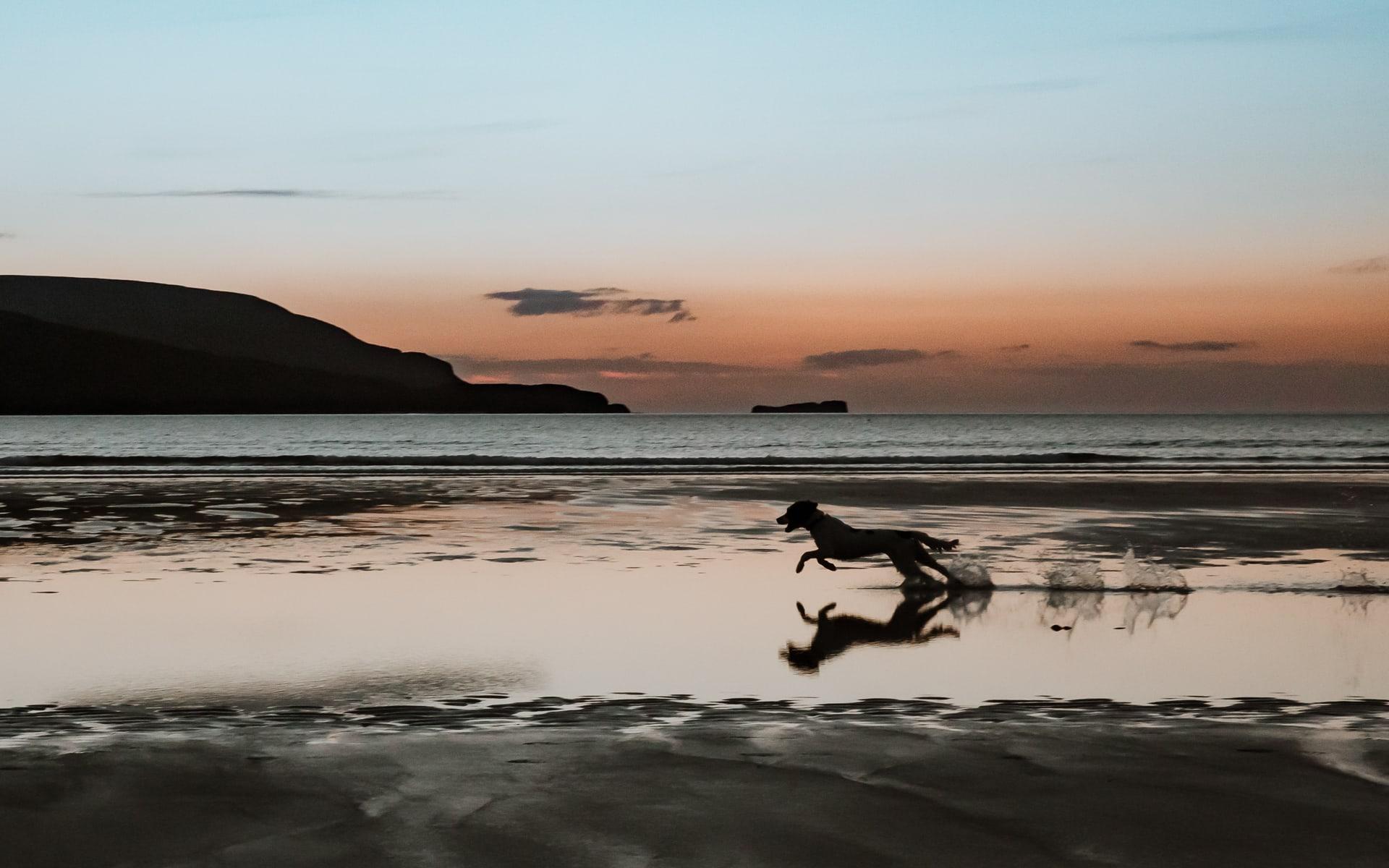 Silhouette of Springer spaniel running across the beach at sunset